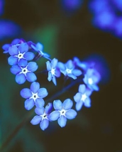 forget-me-not-1.jpg
