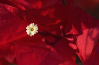 bougainvillea-flower.jpg
